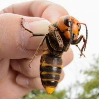 So Now We've Got Killer Japanese Hornets 2 Deal With Also?🖐😣🖑