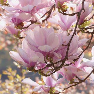 La fioritura della Magnolia