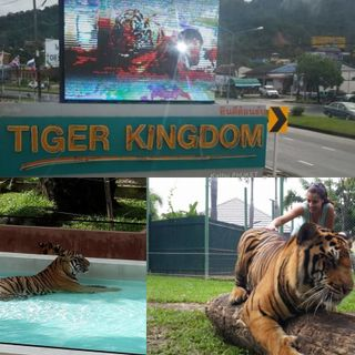 The Tiger Kingdom Anecdote