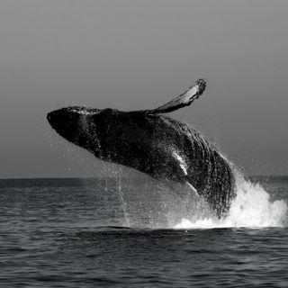 Alla Scoperta del Whale Watching! - Curiosità  (w/ A. Somà & G. Motta | Autore) S.1
