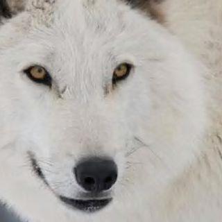 Ovejas con piel de Lobos