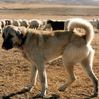 Kangal, il re dell'Anatolia