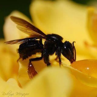 O bom cristão segue o exemplo das abelhas