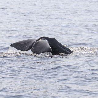 19 - Ma davvero ci sono le Balene nel Mediterraneo? - Biologia Marina