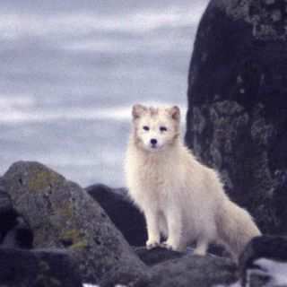 Little White Fox