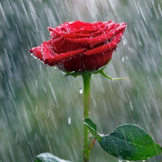 Episodio 1: Rosas Bajo La Lluvia