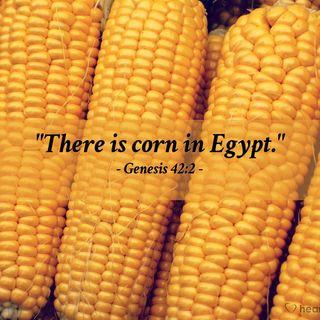 Corn in Egypt