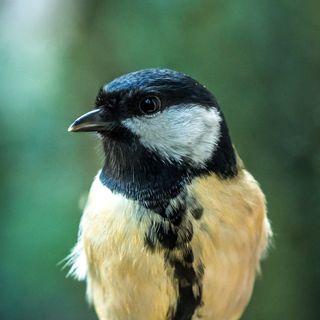 15 - Ma gli animali hanno una personalità? Non tutti gli uccelli cantano, alcuni si arrabbiano, come la Cinciallegra.