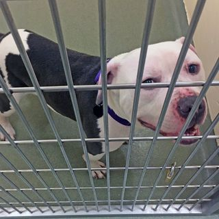 Pit Bull Stolen From Animal Rescue League Shelter