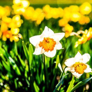 Narciso, il fiore degli sguardi profondi