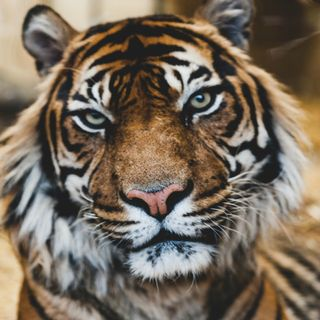 Stress and the Tiger Effect
