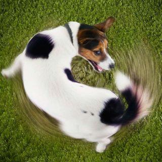 ¿Por qué los perros dan vueltas antes de sentarse?