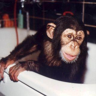 Apan Ola – schimpansen som försvann