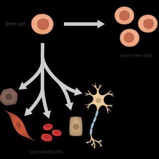 Stem Cells Research