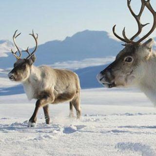 It is reindeers time!