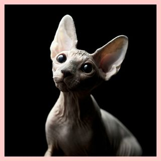 CANADIAN SPHYNX, MYSTERY AND SWEETNESS.