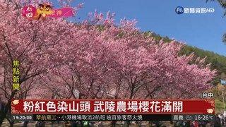 20:35 春節賞花熱點 武陵農場櫻花滿開 ( 2019-02-08 )