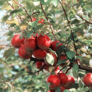 30/09/2021 - Cenário da maçã