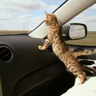 8 consigli per aiutare il tuo gatto a godersi il viaggio in automobile
