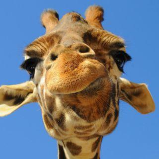Come stanno le giraffe?