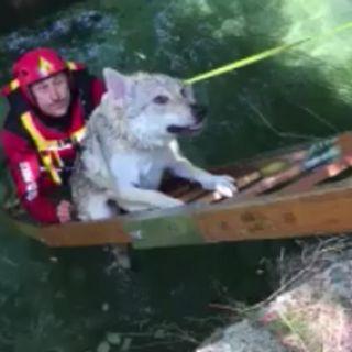 Lupo cecoslovacco non riesce a risalire dal canale: salvato dai vigili del fuoco