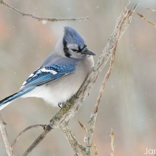 The Blue Jay (Part 2)