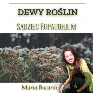 Dewy Roślin - Sadziec Eupatorium  - leczenie raka, AIDS, system immunologiczny | Maria Bucardi