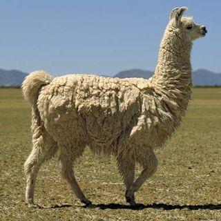 The Llama Podcast Ep #1