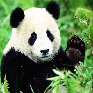 Qué Bonito: ¡Se disfraza de panda para cuidar a cachorros!