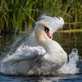 Swan Songs