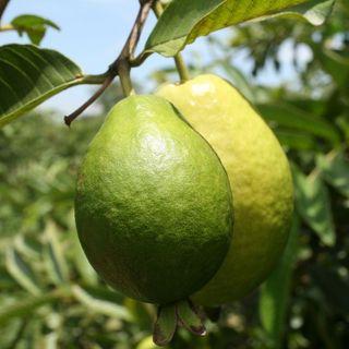 Manejo agronómico del cultivo de guayaba