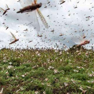 Vuelve ola de langostas que amenaza la comida de miles de personas