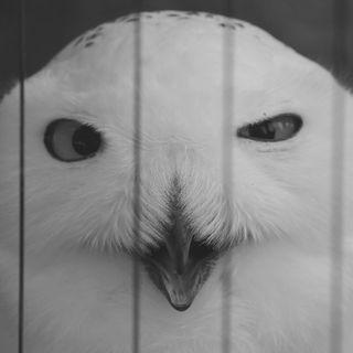 Strigiformi: un'Estinzione Silenziosa - Ecologia & Curiosità (intervista)