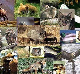 Fauna Ibérica (I): El zorro