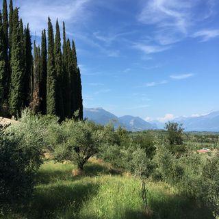 Le radici dell'ulivo