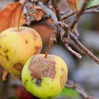 Bad Fruit False Prophet