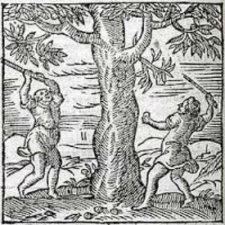 FFGF- The Walnut-Tree