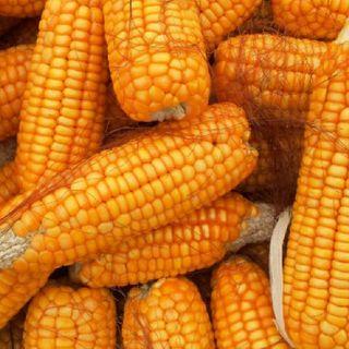 México estima crecimiento en la producción de maíz grano