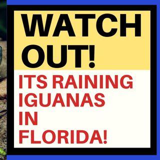 A PLAGUE OF FALLING IGUANAS IN FLORIDA!