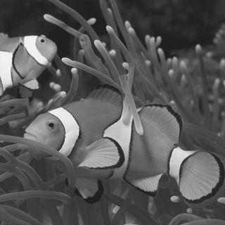 Il Cambio di Sesso nel Pesce Pagliaccio - Ecologia