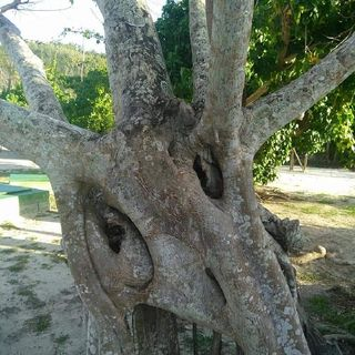 SACRED TREES of The KONGO
