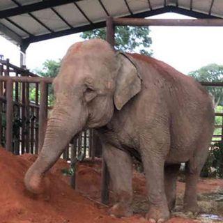 Mara, la elefante que fue liberada en medio de la pandemia