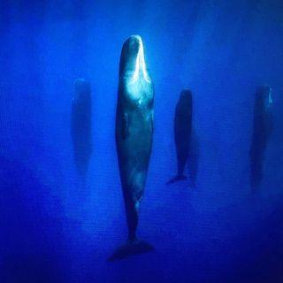 voices/le balene dormono in verticale?