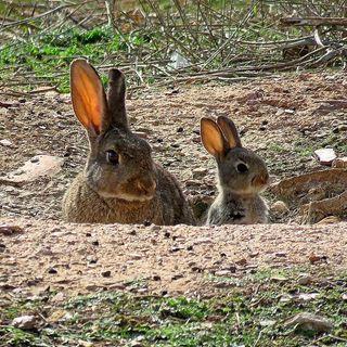¿Por qué los conejos han entrado en peligro de extinción?, con Ramón Perez de Ayala   Actualidad y Empleo Ambiental #35