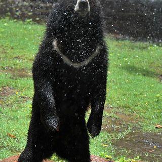 Black Bears Race Marathon Runner