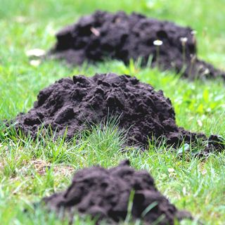 DIY Garden Minute Ep72 Non-Lethal Ways to Stop Digging or Burrowing Animals