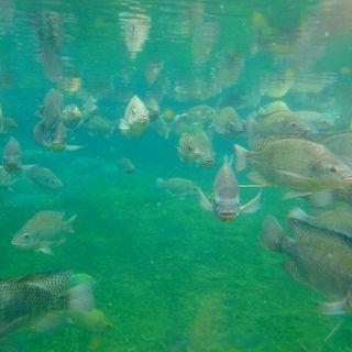 01/09/2021 - Cenário da piscicultura