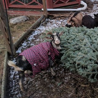 Goats Love To Eat Your Old Christmas Trees