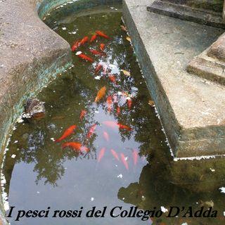 I pesci rossi del collegio D'Adda