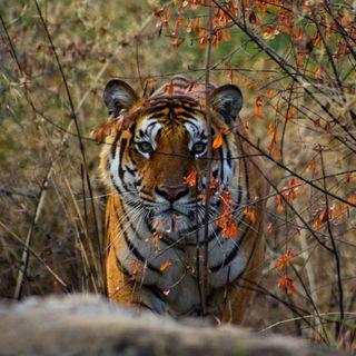 Enviarán ADN de tigre al espacio